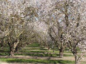 Aprikosenbaum Porreres 300x225 Porta Holiday Blog